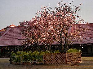 夕暮れの桜_c0141652_13535927.jpg