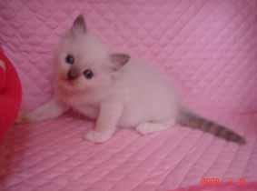 ラグドール 5週目の子猫ちゃん_e0033609_1915048.jpg