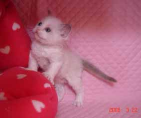 ラグドール 5週目の子猫ちゃん_e0033609_19153198.jpg
