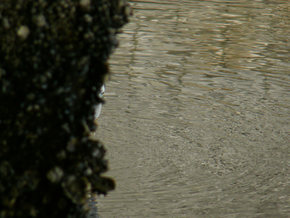 橋脚の陰から...アオサギです_e0088233_2391559.jpg