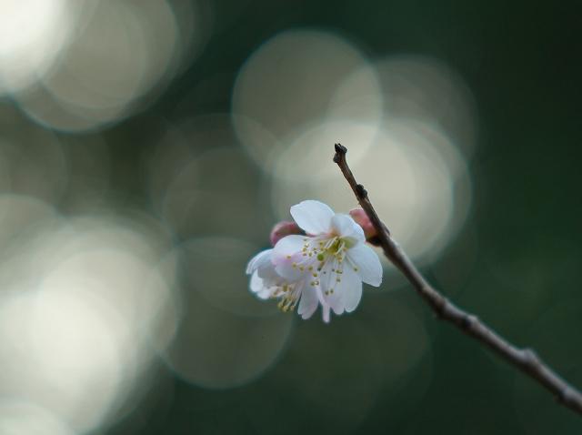 彼岸桜 2_f0018464_613171.jpg