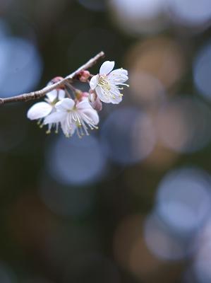 彼岸桜 2_f0018464_6131710.jpg