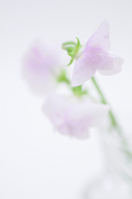スイートピー 薄紫