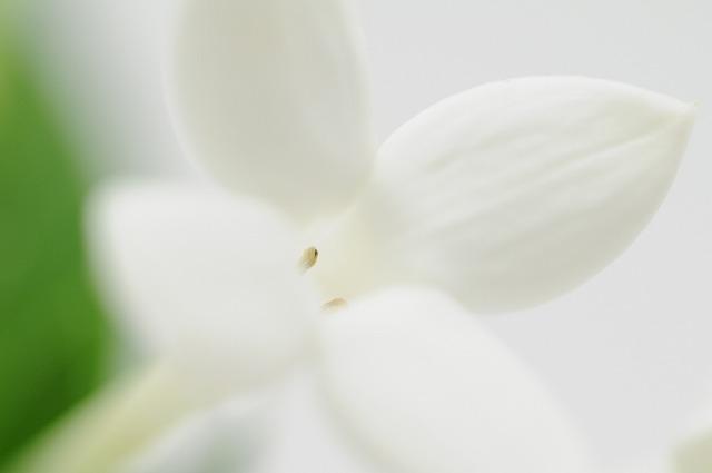 ブバリア ダフネホワイトスープリーム