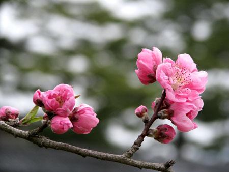 京都御苑 桃園_e0048413_2115342.jpg