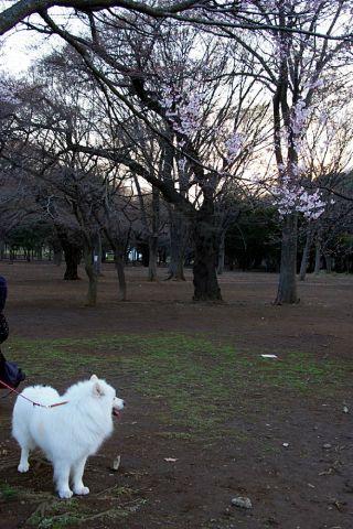 開花宣言_c0062832_17184595.jpg