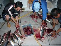 マグロにカツオ 大漁!_d0100638_10245758.jpg
