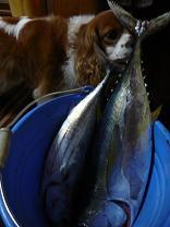 マグロにカツオ 大漁!_d0100638_1028560.jpg