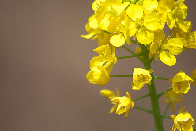 菜の花_c0067040_1926998.jpg