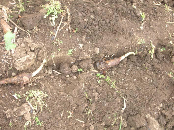 遂に故郷の実家の畑にエビイモとヤツガシラを植えた!_c0014967_15333477.jpg