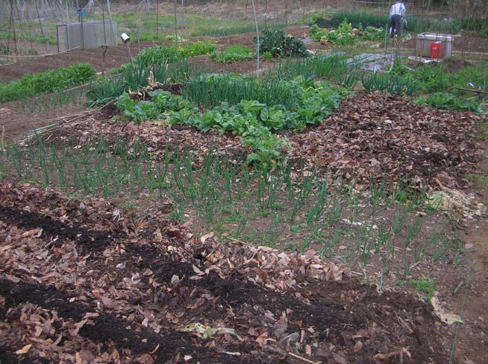 遂に故郷の実家の畑にエビイモとヤツガシラを植えた!_c0014967_15343376.jpg