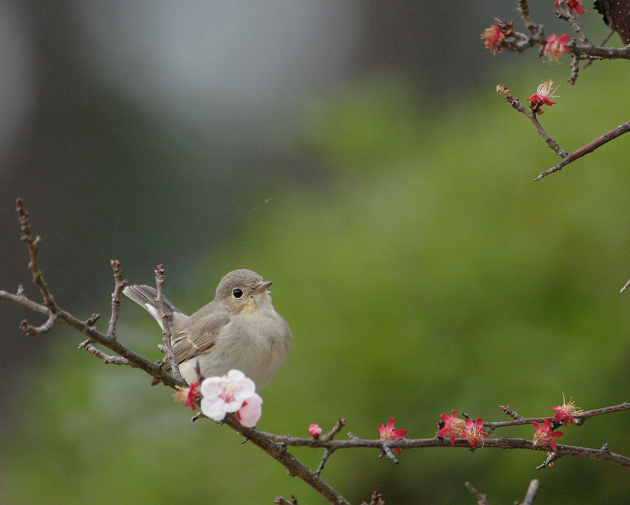 梅の花に止まった可愛いオジロたん_f0105570_225138.jpg