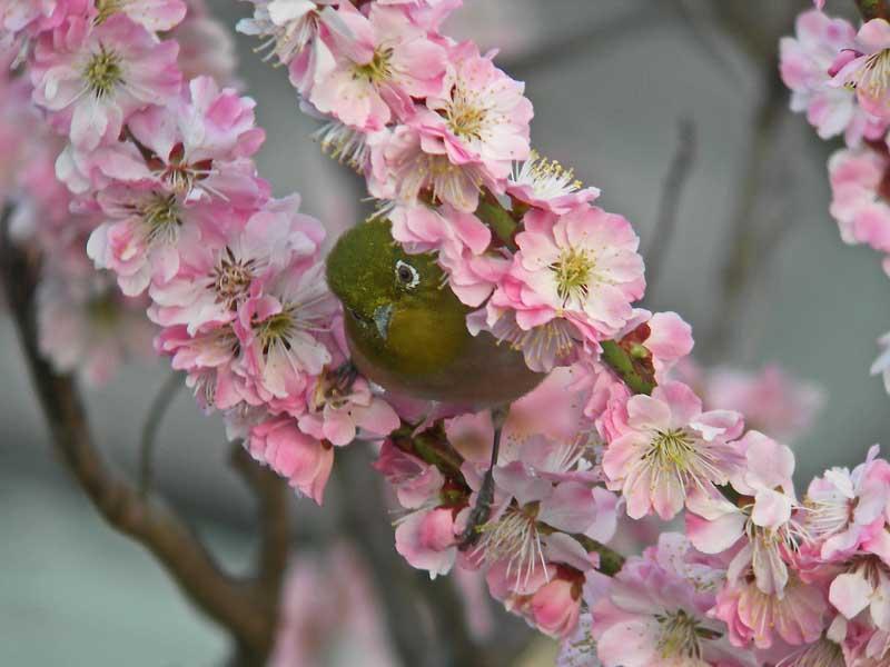 梅の花にメジロ_e0016894_1225039.jpg