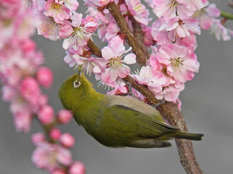 梅の花にメジロ_e0016894_1232543.jpg