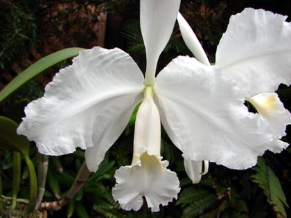 C.Lueddemaniana fma.aba(ルデマニアナ・アルバ)_d0007501_625499.jpg