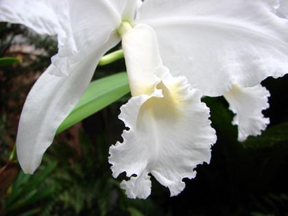C.Lueddemaniana fma.aba(ルデマニアナ・アルバ)_d0007501_6265420.jpg