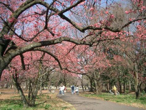 小金井公園、カンヒザクラ_e0064461_23282742.jpg