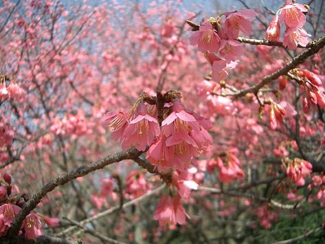 小金井公園、カンヒザクラ_e0064461_23285982.jpg