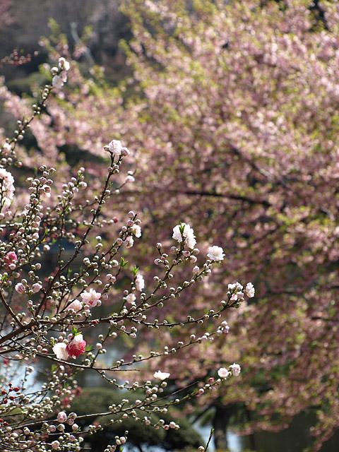 新宿御苑 ~ 桜直前編(3/23)_b0006870_22402224.jpg