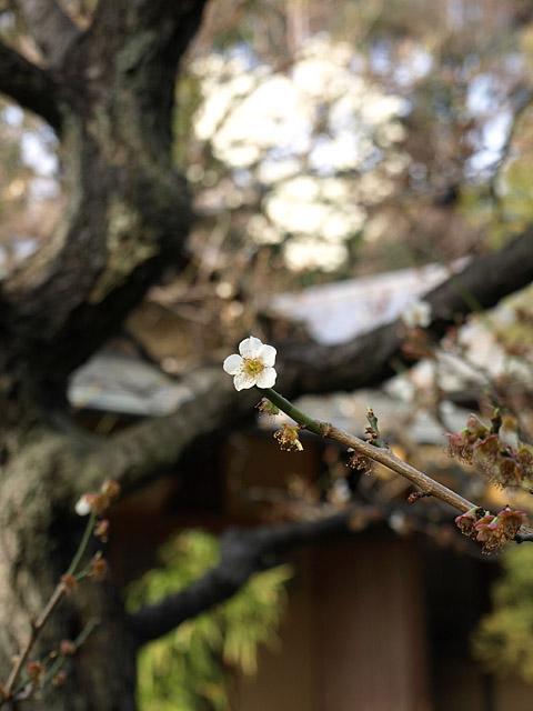 新宿御苑 ~ 桜直前編(3/23)_b0006870_23153587.jpg