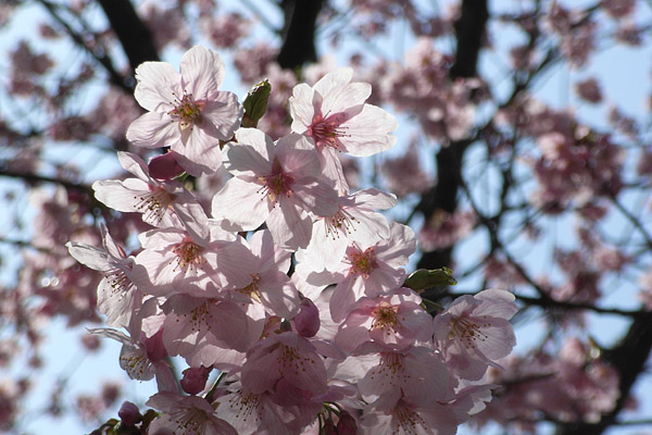 新宿御苑 ~ 桜直前編(3/23)_b0006870_23243241.jpg