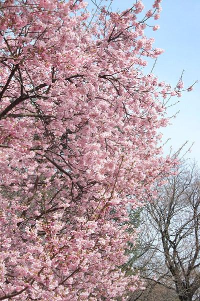 新宿御苑 ~ 桜直前編(3/23)_b0006870_23315497.jpg
