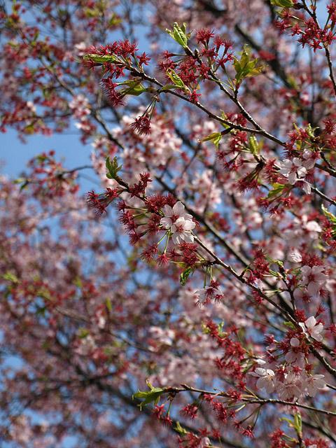 新宿御苑 ~ 桜直前編(3/23)_b0006870_2333437.jpg