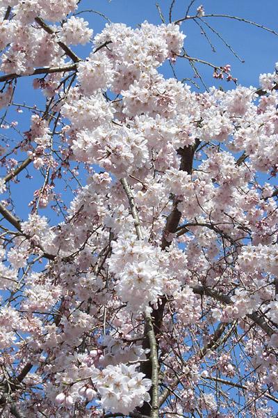 新宿御苑 ~ 桜直前編(3/23)_b0006870_23411017.jpg