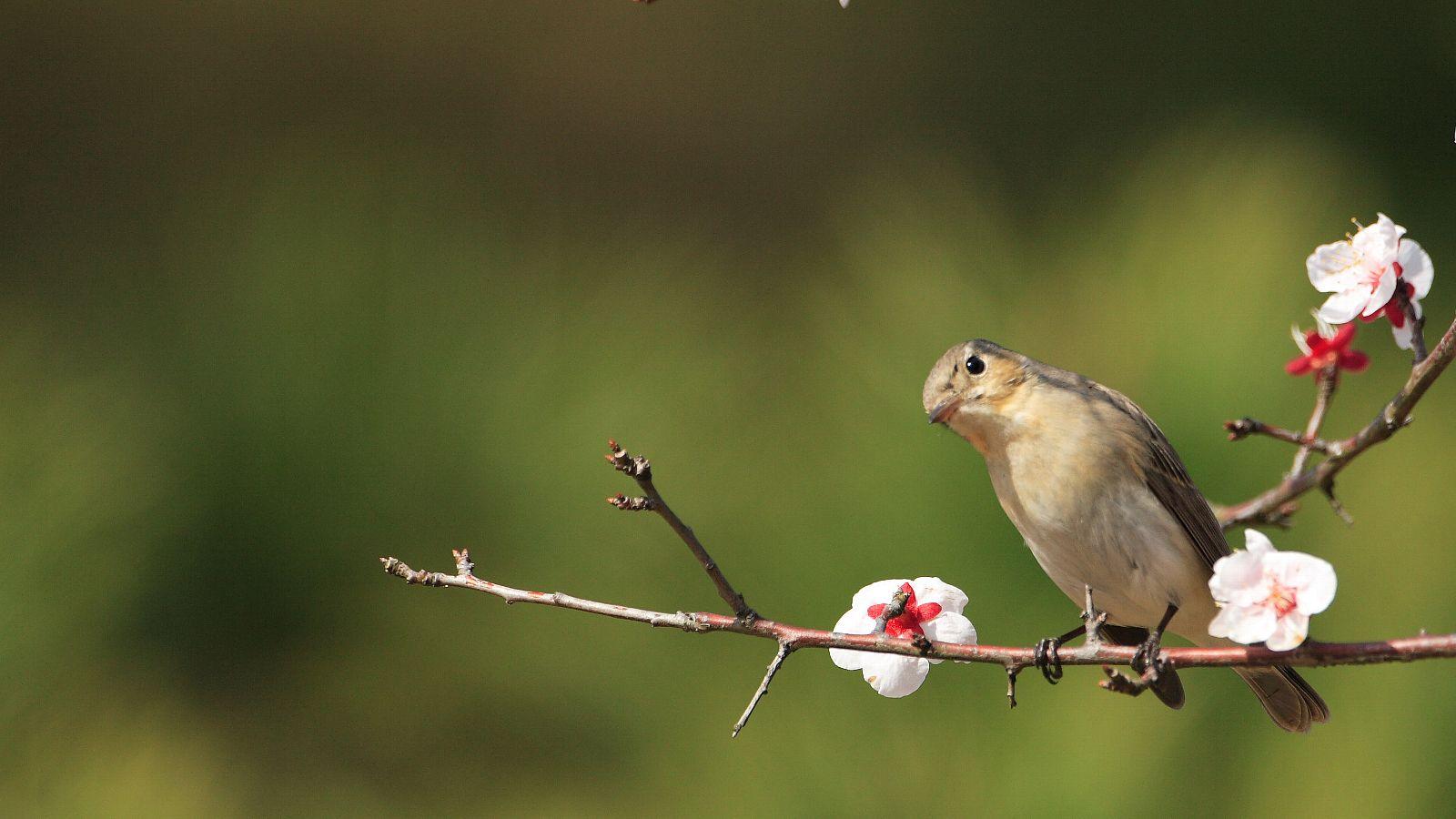 梅の花に止まった可愛いオジロたん_f0105570_22305576.jpg