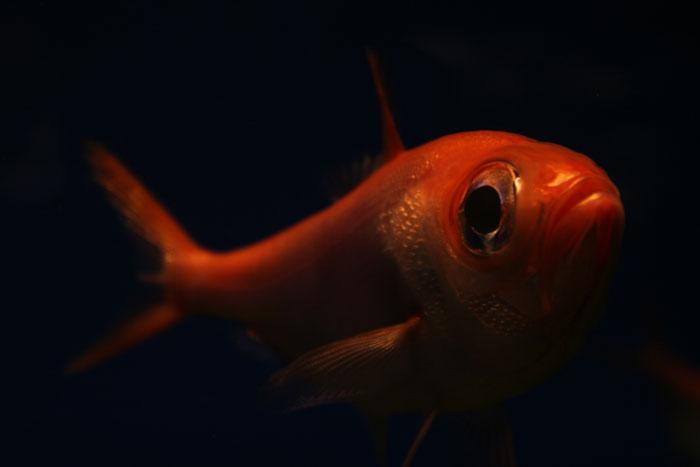 ☆特集 深海に学ぶ file.02: 『深海魚は赤い?』_a0012103_7593392.jpg