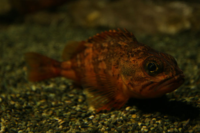 ☆特集 深海に学ぶ file.02: 『深海魚は赤い?』_a0012103_75957100.jpg