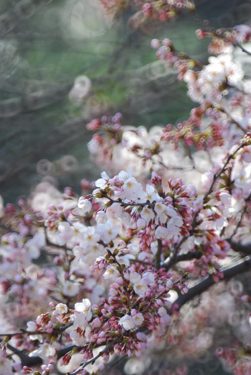 桜咲く_d0119505_16262360.jpg