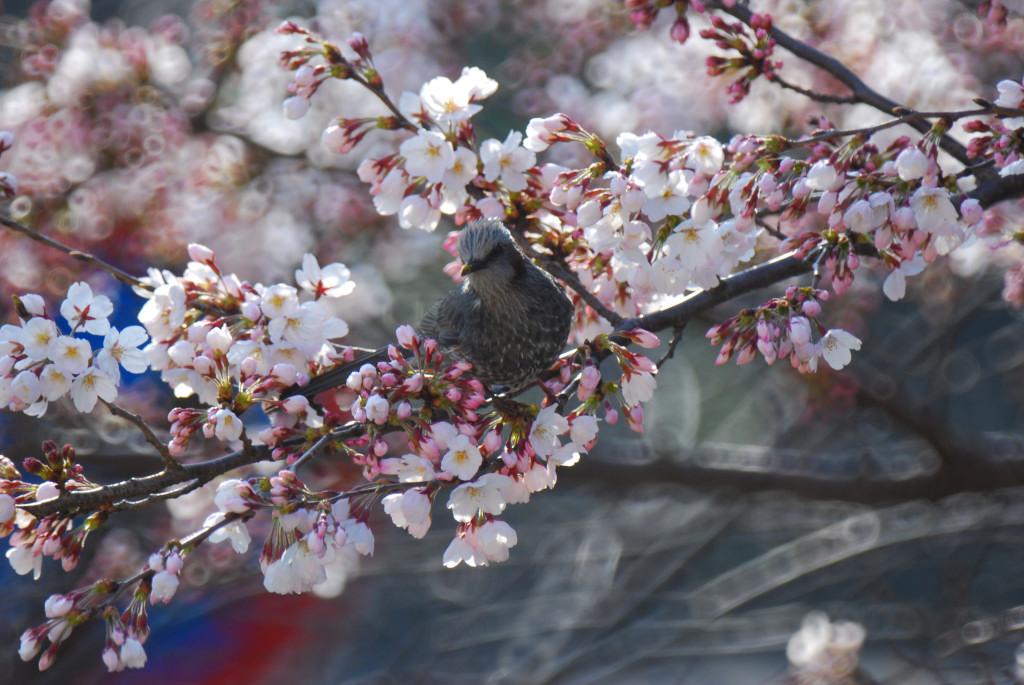 桜咲く_d0119505_16315314.jpg