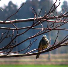 鳥が庭の木のつぼみをたべにくる。_b0115652_18144623.jpg