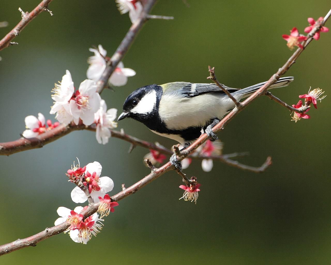 シジュウカラと梅の花_f0105570_22294829.jpg