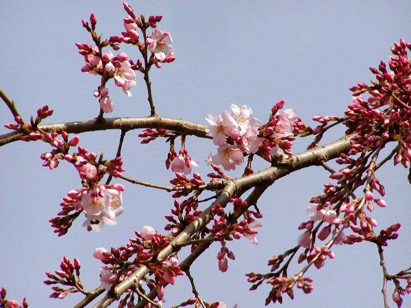 枝垂れ桜 in 御所_c0057390_23153286.jpg