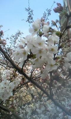 桜…_c0063790_23263610.jpg