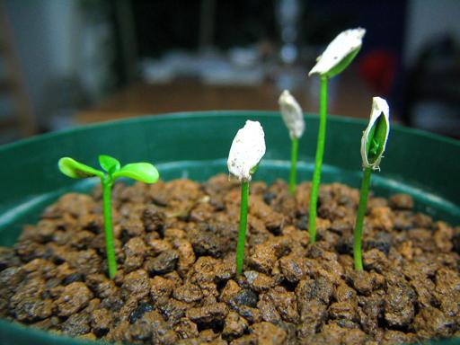 コブミカンの発芽, kaffir lime germination