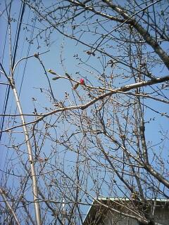 「京都-桜情報」その1  高野川周辺_a0076495_18431648.jpg