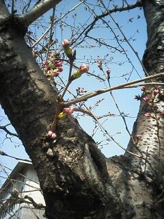 「京都-桜情報」その1  高野川周辺_a0076495_18433584.jpg