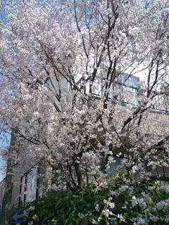 \'桜'の季節ですね! お花見カレンダーは埋まりましたか?_f0094800_18191975.jpg