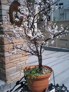 \'桜'の季節ですね! お花見カレンダーは埋まりましたか?_f0094800_18192883.jpg