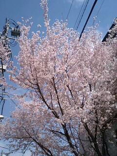 \'桜'の季節ですね! お花見カレンダーは埋まりましたか?_f0094800_1819828.jpg