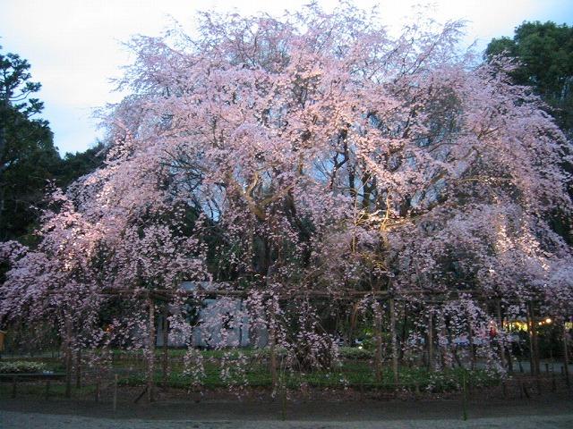 しだれ桜_a0036808_15315146.jpg