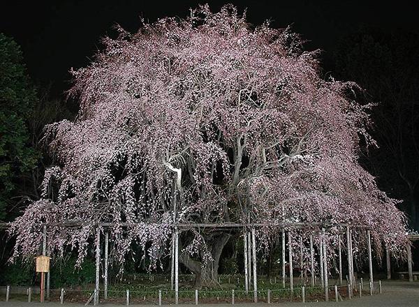 しだれ桜_a0036808_1536339.jpg