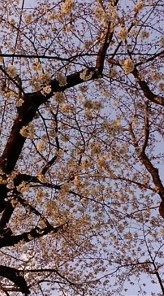 桜☆ 八分咲くらい?  どんな花見しますか?_b0032617_17191495.jpg