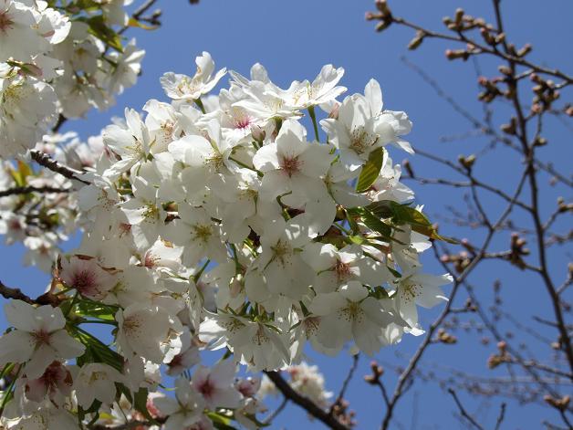 浅間神社の白い桜_b0089338_0555382.jpg