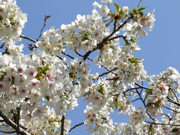 浅間神社の白い桜_b0089338_0561524.jpg