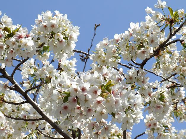 浅間神社の白い桜_b0089338_0562259.jpg