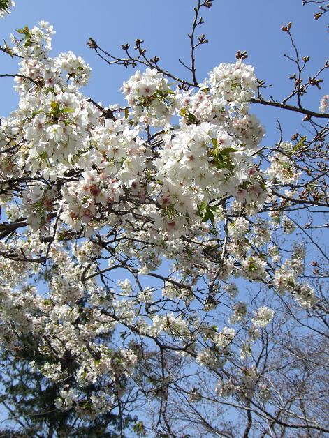 浅間神社の白い桜_b0089338_056236.jpg